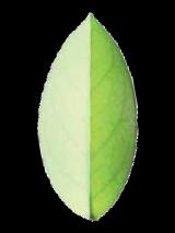 Green tea - an elixir for youthful skin?